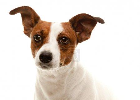 Adorable Jack Russell Terrier Portrait