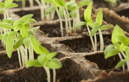 Photo for Sprouting Plants in a Row - Royalty Free Image