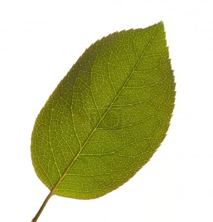 Photo for Leaf Macro Isolated on a White Background. - Royalty Free Image