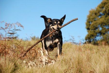 Dog retrieving a stick in bush