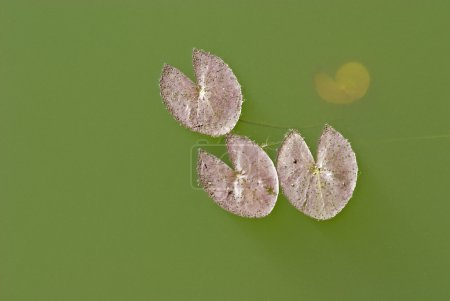 Leaf in a lake.
