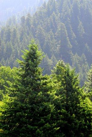 Photo pour Vue de forêt de pins sur le flanc de la montagne - image libre de droit