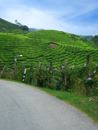 Photo for Road in tea plantations, Cameron Highlands, Malaysia - Royalty Free Image