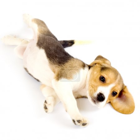 Beagle puppy rolling