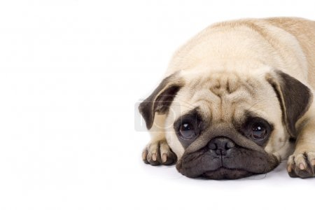 Cute pug with sad eyes