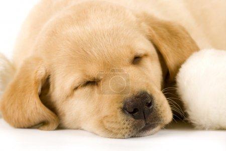 Puppy sleeping near a fur ball