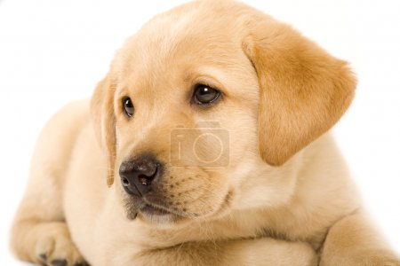 Photo for Closeup of a labrador retriever puppy with cute eyes - Royalty Free Image
