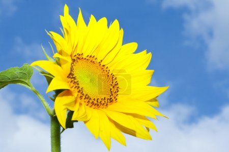 Photo for Picture of a beautiful sunflower against cloudy sky background - Royalty Free Image