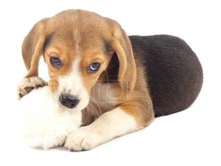 Pup chewing on it's fur ball