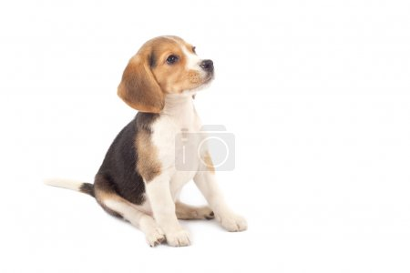 Beagle puppy sitting