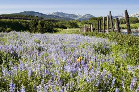 Wildflowers in Glacier National Park