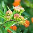 Buds of a butterfly weed with shallow DOF....