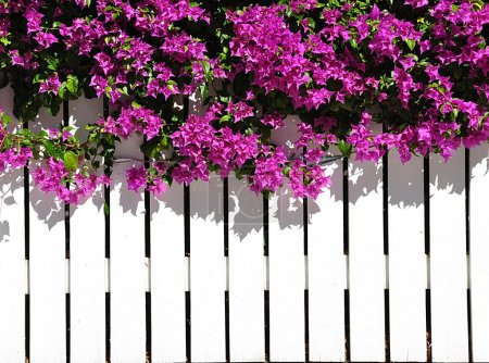 White Picket Fence With Bougainvilla