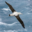 Overhead view of a Wandering Albatross (Diomedea e...