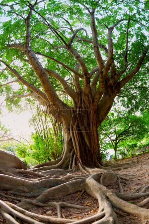 Photo pour Image fisheye de ficus incipida ou chalate - image libre de droit