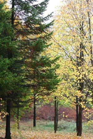 Photo pour Un arbre de pin et le bouleau dans la forêt en automne - image libre de droit