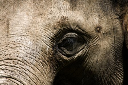 An elephant head close up