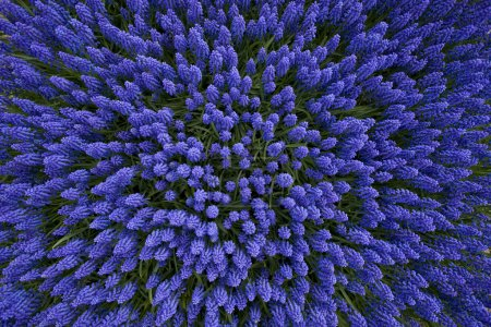 A bed of hyacinths top view