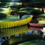 Giant Amazon water lily (Victoria amazonica)...