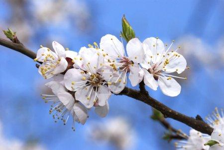 Photo pour Branche de cerisier en fleurs - image libre de droit