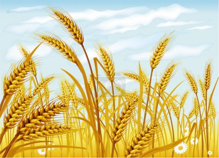 Illustration for Wheat in the field - Royalty Free Image