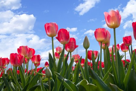 Spring flowers tulips in the blue sky