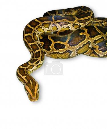 Python snake close-up, isolated on white