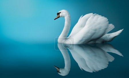 Photo pour Swan fantastique - image libre de droit