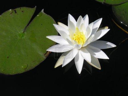 Photo pour Un lilly d'eau flottant sur un étang du parc des Adirondacks de l'état de new york. - image libre de droit