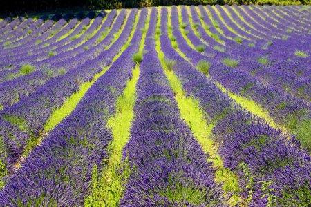 Photo pour Champ de lavande, plateau de valensole, provence, france - image libre de droit
