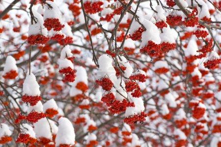 Rowan in Snow