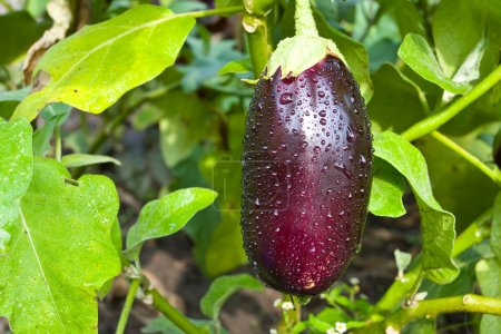 Fresh aubergine with water drops