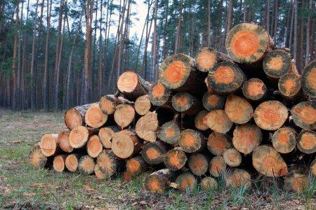 Photo pour Pile de grumes de bois de chauffage dans la forêt - image libre de droit