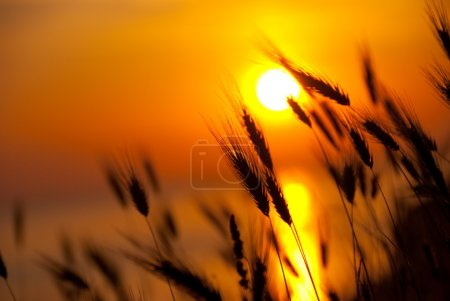 Photo pour Blé sur un grand fond de coucher de soleil d'été - image libre de droit