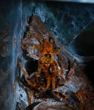 Pternochilius murinus