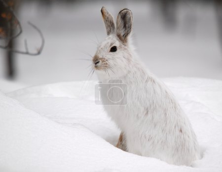 Photo for A white Snowshoe Hare in Winter - Royalty Free Image