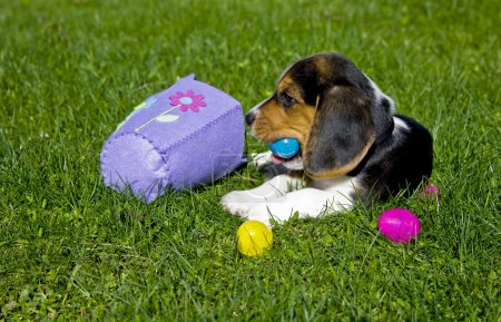 Beagle Puppy with Easter Egg Basket