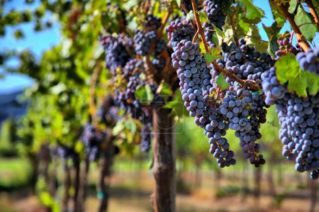 Photo pour Merlots sur la vigne dans le vignoble - image libre de droit