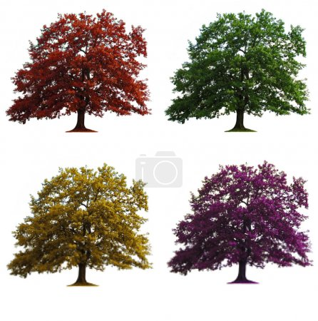 Photo for Four oak trees in seasons colors isolated over white - Royalty Free Image