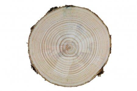 Photo pour Coupe transversale d'un tronc d'arbre de pin avec des anneaux de croissance différenciées - image libre de droit