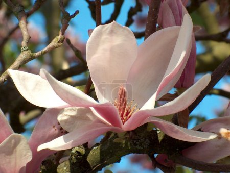 Photo for Wide opened blossom of a magnolia tree in springtime - Royalty Free Image