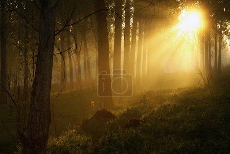Photo pour Bois mystique dans la matinée brumeuse - image libre de droit