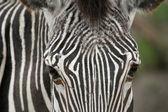 Zebra obličej
