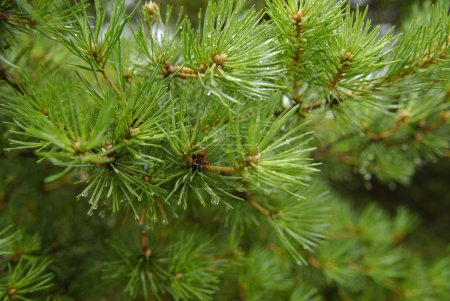 Green fir with drops