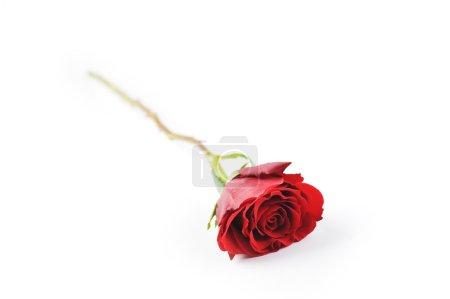 Photo pour Belle rose rouge isolée gros plan - image libre de droit
