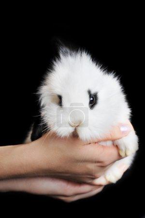 Photo pour Lapin blanc en mains isolées sur fond noir - image libre de droit