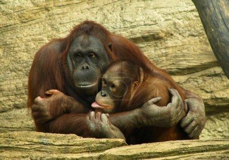 Photo pour Famille drôle orang-outan - mère embrassant son enfant - image libre de droit