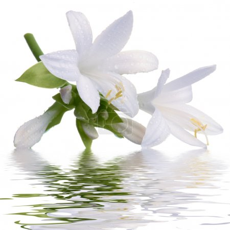 Lily with reflection